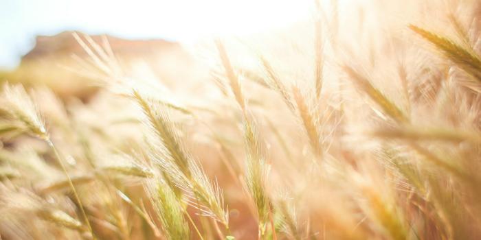 close up on wheat