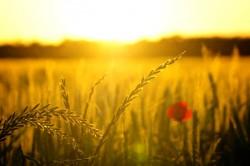 sunrise across a wheat field