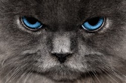 close-up of angry-looking cat