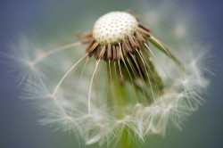 close-up of a dandelion