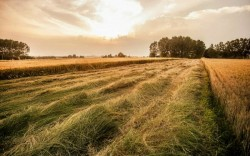path of wheat