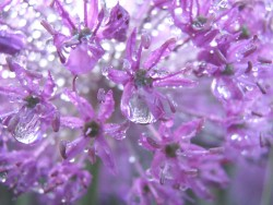 close up of flowers which are purple in colour, with morning dew
